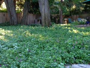 Ground cover thrives beneath mature trees