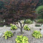 Hostas in Japanese Maple Shade