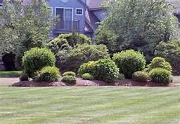 sheared-shrubs_large
