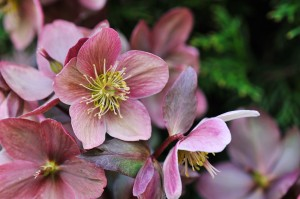 Helleborus In The Garden
