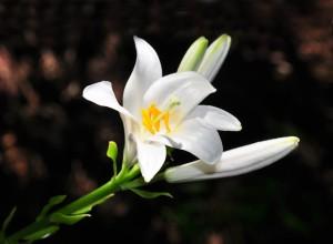 Madonna Lily (lilium Candidum)
