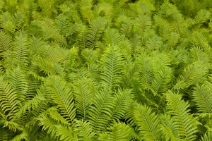 Ostrich Fern Matteuccia Struthiopteris Background