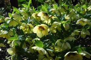 Yellow Lenten Roses