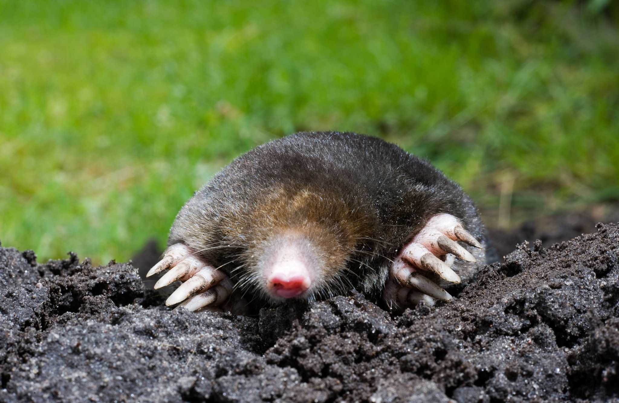 How to get rid of ground moles - Mole In Sand How To Identify Moles