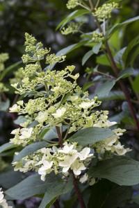 bigstock-Blooming-Hydrangea-paniculata--49794116