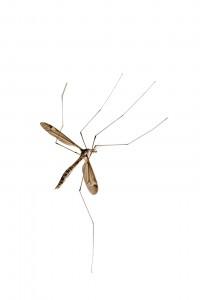 bigstock-Crane-fly-772666