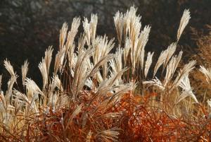 bigstock-Grass-Miscanthus--miscanthus--50664269