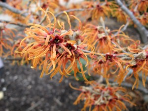 bigstock-Orange-Witch-Hazel--Hamamelis-2639492