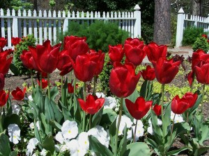 bigstock-Red-Tulips-In-A-Garden-1139442