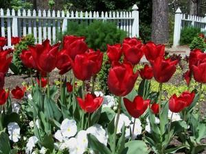 bigstock-Red-Tulips-In-A-Garden-1139442
