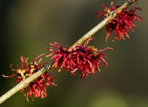 bigstock-Red-Witch-Hazel-Flowers-57741902