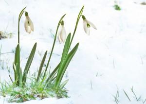 bigstock-Snowdrops-43206649