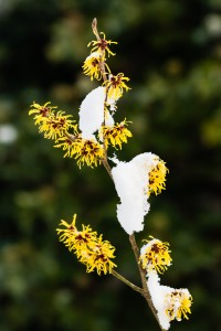 bigstock-Witch-Hazel-Hamamelis-54375266