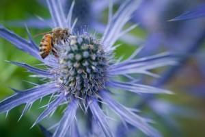 Bee on purple spiked flower