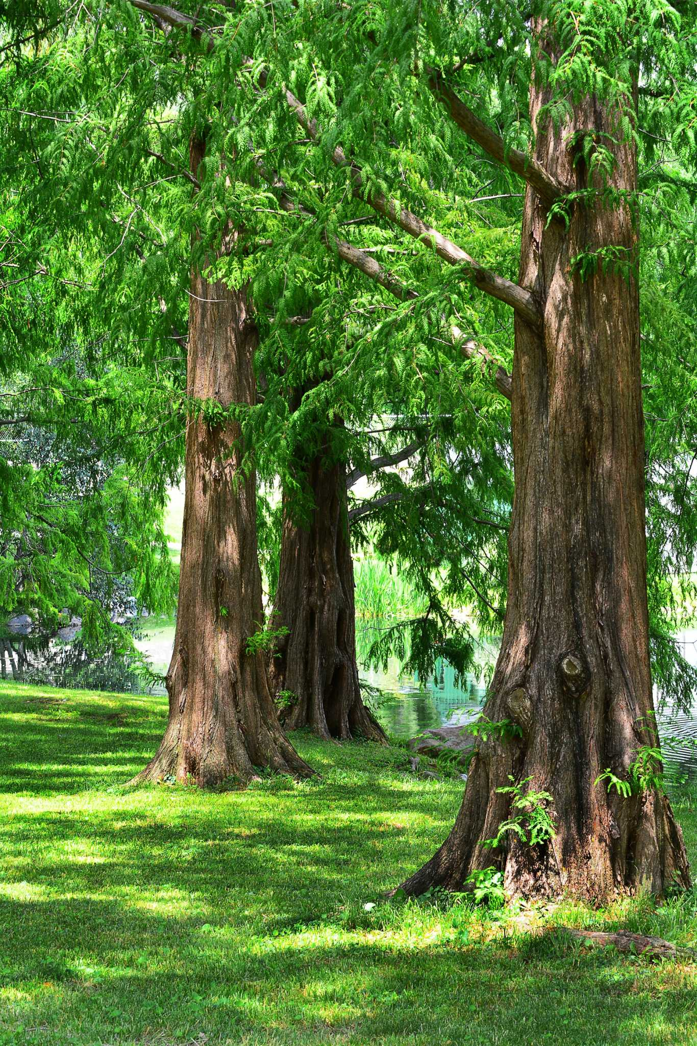Landscaping With Redwood Trees : Things we do to our trees and read more here see the last