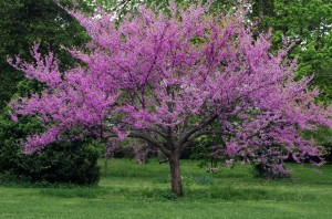 Eastern redbud tree in full bloom with sprinkling of wildflowers