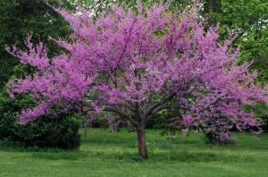 Eastern redbud tree in full bloom with sprinkling of wildflowers