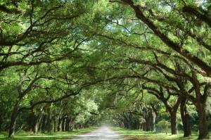 Oak Tree Along Country Road