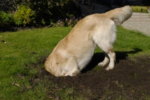 bigstock-Golden-Retriever-Dog-Digging-H-22554335