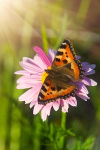 bigstock-Tortoiseshell-Butterfly-On-Mar-21168776