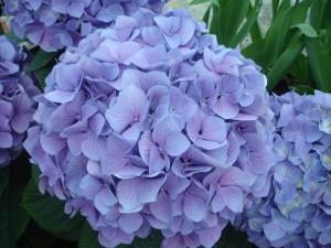 Blue Hydrangea #2