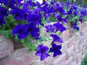 Blue Petunias