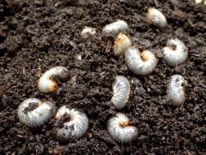 larval fleas