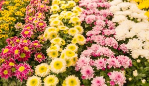 Closeup Of Colorful Flowering Potted Chrysanthemums