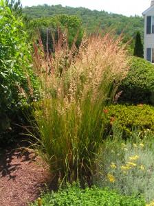 Graceful Ornamental Grass