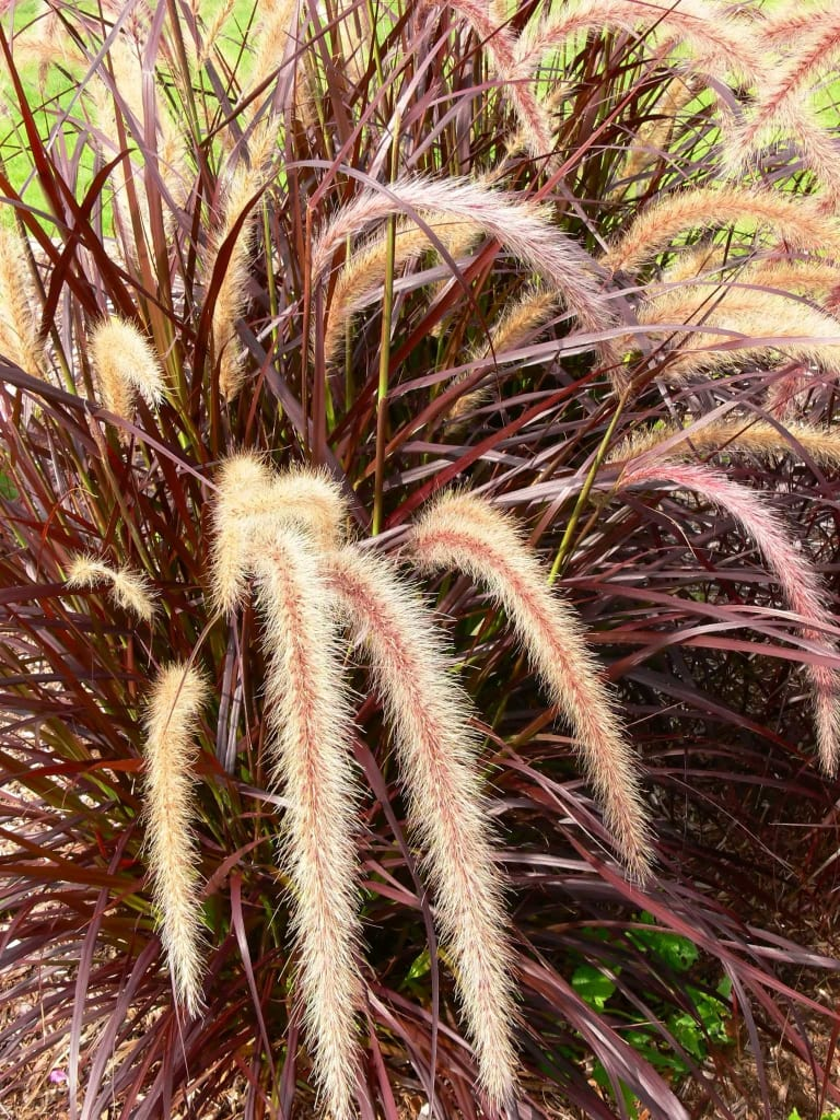 Ornamental grasses for Red and green ornamental grass