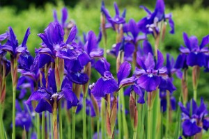 Purple irises at the edge of a meadow.  Shallow dof with selecti