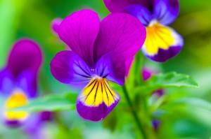 Violas or Pansies