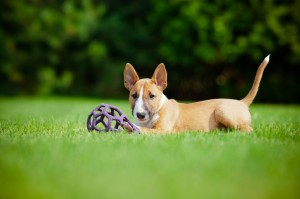 adorable english bull terrier puppy