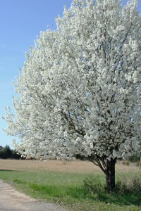 flowering bradford pear tree
