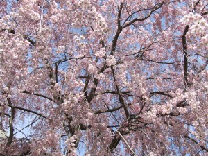 japanese weeping cherry tree