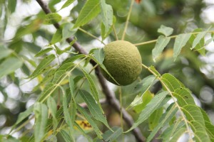 Black walnut in tree