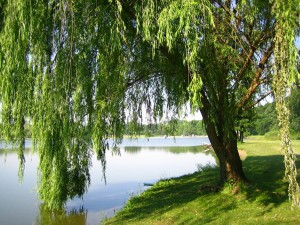 Lakeside Willow