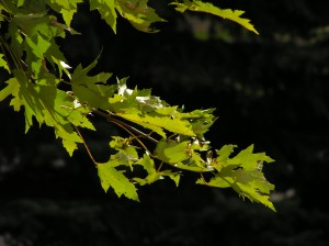 Silver Maple Leaves Against Black Background