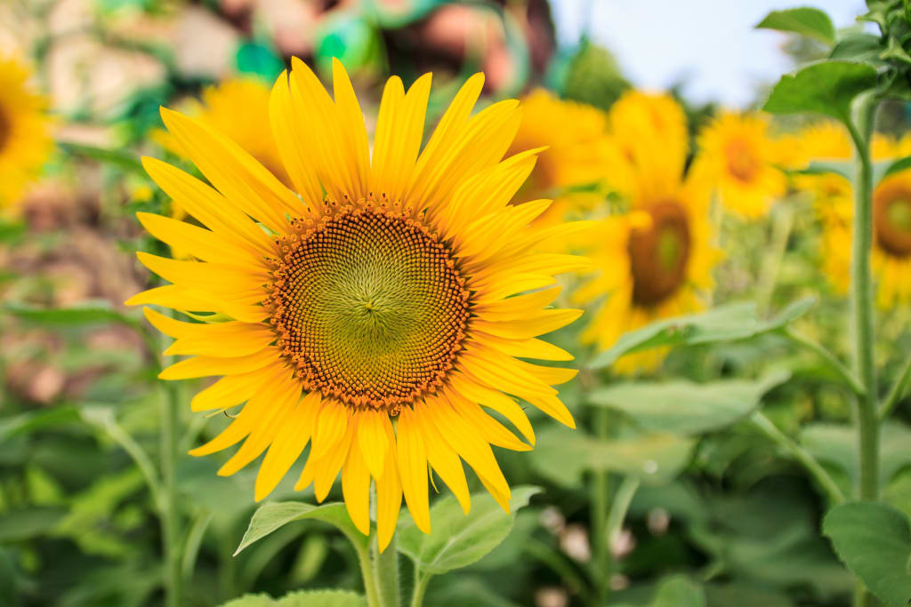 Which types of flowers thrive in summer there are different types of sunflowers that you can choose from some people enjoy 10 foot plants with large flowers but there are shorter mightylinksfo