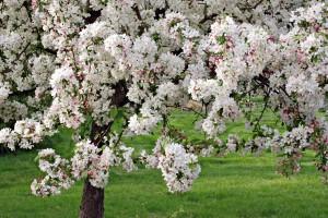 Crabapple tree in full bloom