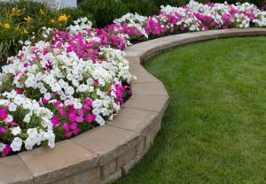 Pink And White Petunias