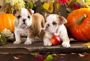 English bulldogs and a pumpkin