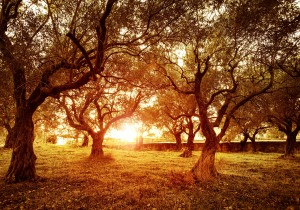 Picture of beautiful orange sunset in olive trees garden, agricu