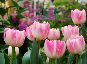 Pink Tulips In Botanical Garden