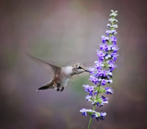 hummingbird feeding from plant