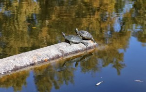 Two Turtles Rests On A Drain Pipe