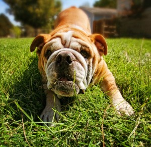 a cute bull dog on the grass toned with a warm filter effect
