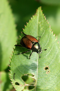 A Japanese beetle shows the damage he can do to plants.