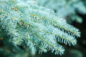 111bigstock-blue-spruce-144098594