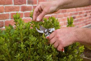 Close up of someone pruning shrubs.